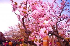 造幣局 桜の通り抜け。
