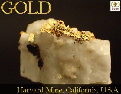 [自然金 石英付き結晶] アメリカ カリフォルニア州産 (ゴールド/gold/ナゲット/原石/鉱物/山金/砂金/販売) no…