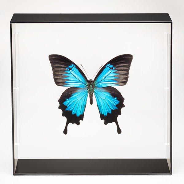 KY−1003 昆虫標本コレクション! オオルリアゲハ