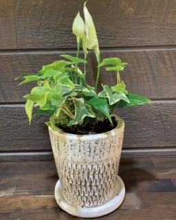 ミニ観葉の寄植え(陶器付き)
