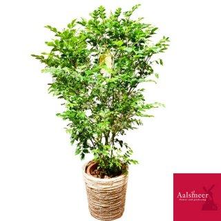シマトネリコ(観葉植物)