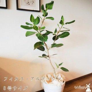 アルテシマ(観葉植物)