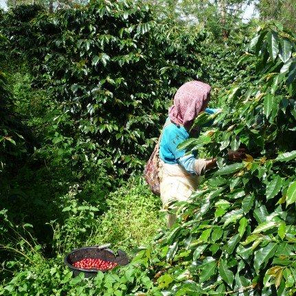 インドネシア マイクロット ワハナ農園 ロングベリー 浅煎り 200g