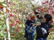 りんご一枝オーナー制度(令和3年度)をお取り寄せ